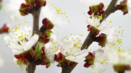 White Flowers Blossoms on the Branches Peach Tree. Timelapse. Stok Video