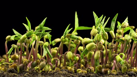 peas : Mung Beans Germination on Black Background.