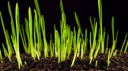 Accelerated Growth of Fresh Green Grass on the Dark Earthen Ground. Timelapse.