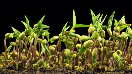 Mung Beans Germination on Black Background. Timelapse.
