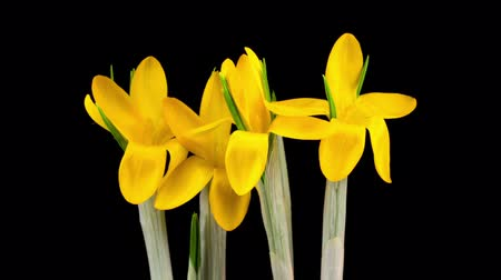 casa : Timelapse of Yellow Crocus Flower Blooming on Black Background.