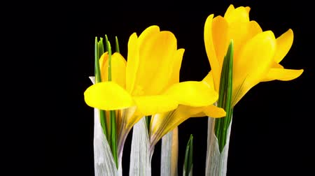 Timelapse of Yellow Crocus Flower Blooming on Black Background.