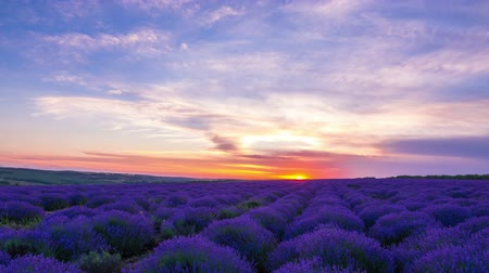 magenta flowers : Time Lapse Of Sunset Over A Field Of Lavender.