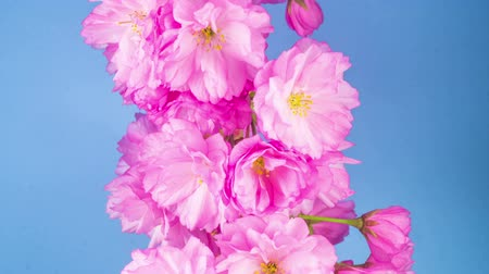őszibarack : Pink Flowers Blossoms on the Branches Sakura Tree. Blue Background. Timelapse.