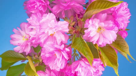 абрикосы : Pink Flowers Blossoms on the Branches Sakura Tree. Blue Background. Timelapse.