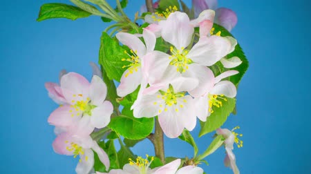 damascos : White Flowers Blossoms on the Branches Apple Tree. Timelapse.