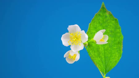 fragrances : Blooming Time Lapse of White Jasmine Flower. Blue Background. Stock Footage