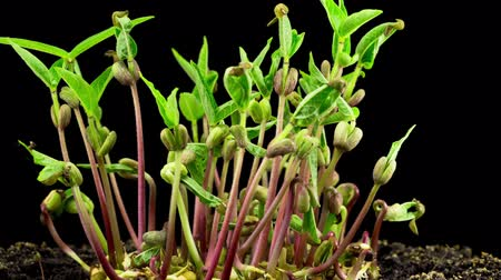 ervilhas : Rotation of Mung Beans Germination on Black Background. Timelapse. Vídeos