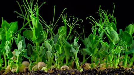 green peas : Peas Beans Germination on Black Background. Timelapse.