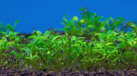 beginnings : Growing Poppy Plant. Blue Background. Time Lapse. Stock Footage