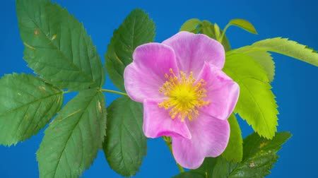 Timelapse of Dogrose Flower Blooming on Blue Background. Stok Video
