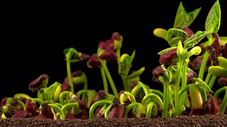 Beans Germination on Black Background. Timelapse.