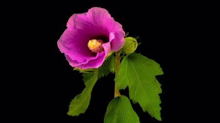Pink Hibiscus Flower Blooming. Black Background. Timelapse.