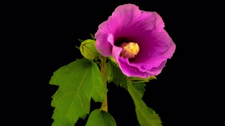 hibiscus : Pink Hibiscus Flower Blooming. Black Background. Timelapse.