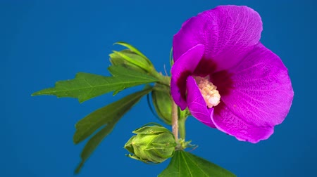flower buds : Pink Hibiscus Flower Blooming. Blue Background. Timelapse.