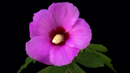 flower : Pink Hibiscus Flower Blooming. Black Background. Timelapse.