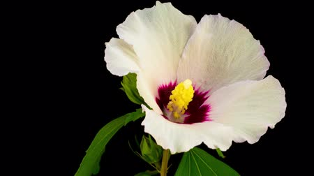 hibiscus : White Hibiscus Flower Blooming. Black Background. Timelapse. Stock Footage