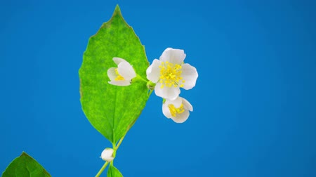 Blooming Time Lapse of White Jasmine Flower. Blue Background. Stok Video