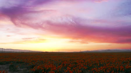 polního : Time lapse footage with tilt up motion of wild flower at full bloom with after glow in California Poppy Reserve in Antelope Valley Dostupné videozáznamy