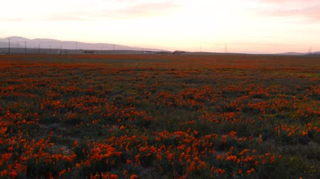haşhaş : Motion controlled dolly time lapse footage with dolly in and pan right motion of wild flower at full bloom with sunset in California Poppy Reserve in Antelope Valley