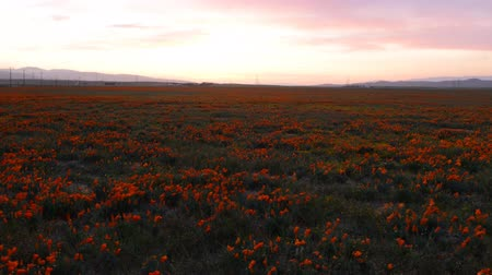 haşhaş : Motion controlled dolly time lapse footage with dolly in and zoom in motion of wild flower at full bloom with sunset in California Poppy Reserve in Antelope Valley Stok Video