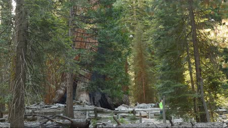 gigante : Time lapse footage of Giant Sequoia grove with morning sun ray at Mariposa Grove in Yosemite National Park Vídeos
