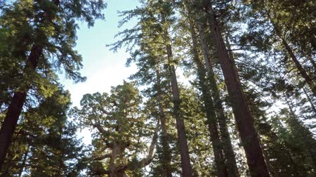 crescimento : Time lapse footage of Giant Sequoia grove with morning sun ray at Mariposa Grove in Yosemite National Park Stock Footage