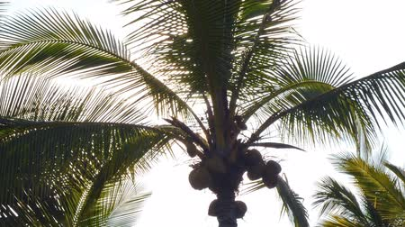 nedvesség : Time lapse footage of sun shining through tropical palm trees at a resort hotel in Hawaii Stock mozgókép
