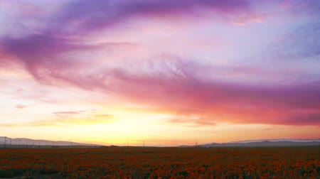 zmiany : 4K Time lapse footage with tilt down motion of wild flower at full bloom with after glow in California Poppy Reserve in Antelope Valley Wideo