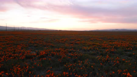 beállítás : 4K time lapse footage with dolly in and tilt up motion of wild flower at full bloom with sunset in California Poppy Reserve in Antelope Valley
