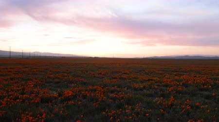 laranja : 4K time lapse footage with dolly in and tilt down motion of wild flower at full bloom with sunset in California Poppy Reserve in Antelope Valley Stock Footage