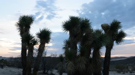bouldering : Time Lapse of Joshua Tree at Sunrise in Desert -Zoom In-