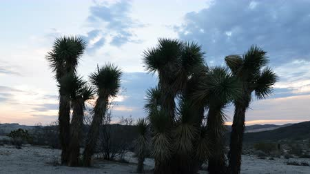 relaks : 4K Time Lapse of Joshua Tree at Sunrise in Desert -Zoom In- Wideo