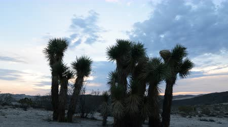 relaks : 4K Time Lapse of Joshua Tree at Sunrise in Desert -Tilt Down-
