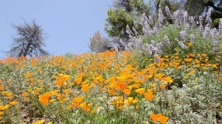 springtime : California Wild Flowers