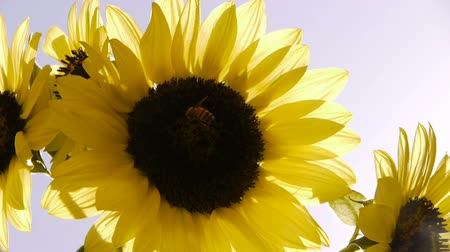 insetos : Sunflower and Bee