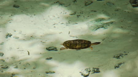 sagrado : Turtle Swimming in Sacred Mayan Cenote in Yucatan Peninsula Mexico Vídeos