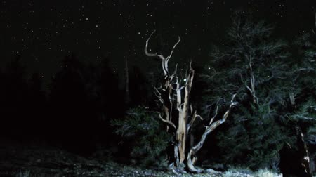 perseids : Astrophotography Time Lapse of Stars over Ancient Bristlecone Pine Tilt Up Stock Footage