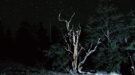 perseids : Astrophotography Time Lapse of Stars over Ancient Bristlecone Pine Zoom In