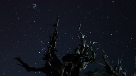 perseids : Astrophotography Time Lapse of Stars over Ancient Bristlecone Pine Tilt Down Stock Footage
