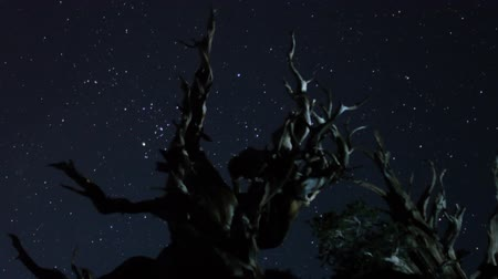 perseids : Astrophotography Time Lapse of Starry Night over Ancient Bristlecone Pine Forest