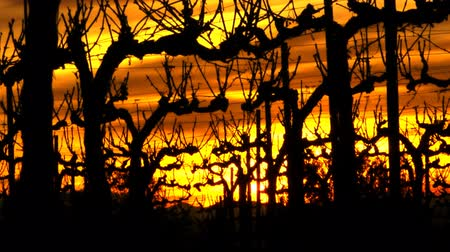 nuvole bianche : Vineyard Sunset Time lapse