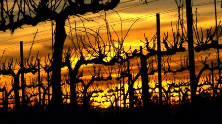 winnica : Vineyard Sunset Time Lapse Wideo