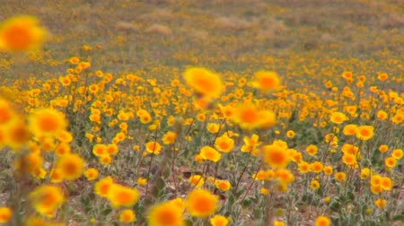 tapis de fleurs : Death Valley Wild Flowers
