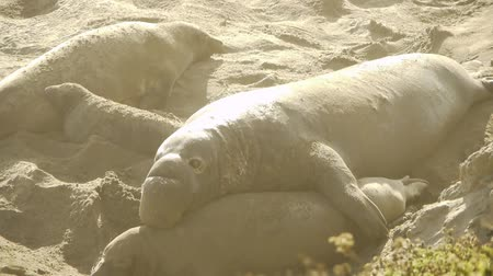 baby dieren : Elephant Seals Colony Stockvideo