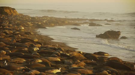 приморский : Elephant Seals Colony Стоковые видеозаписи