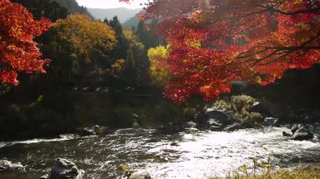 japonya : Japanese Maple Trees over River in Autumn in Japan