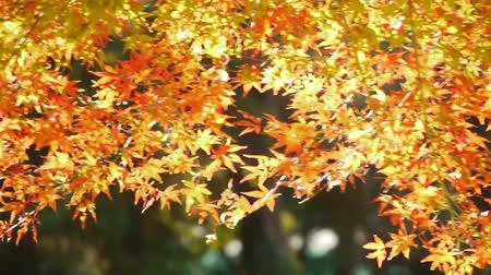 japonya : Japanese Maple Trees in Autumn in Japan
