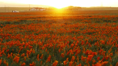 mudança : Time lapse footage with zoom out motion of wild flower at full bloom with sunset in California Poppy Reserve in Antelope Valley Stock Footage