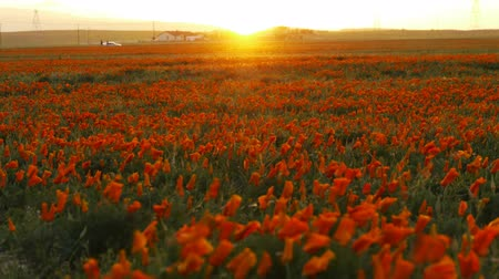 haşhaş : Time lapse footage of wild flower at full bloom with sunset in California Poppy Reserve in Antelope Valley